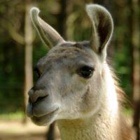 lama (1)_wynik