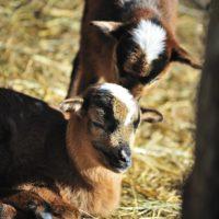 owce (12)_wynik