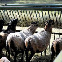 owce (1)_wynik
