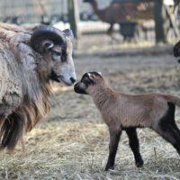 owce (2)_wynik