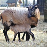 owce (3)_wynik