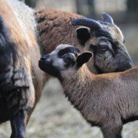 owce (5)_wynik