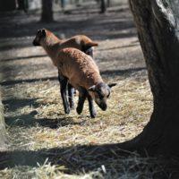 owce (6)_wynik
