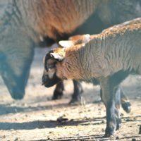 owce (9)_wynik