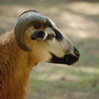owce_wynik